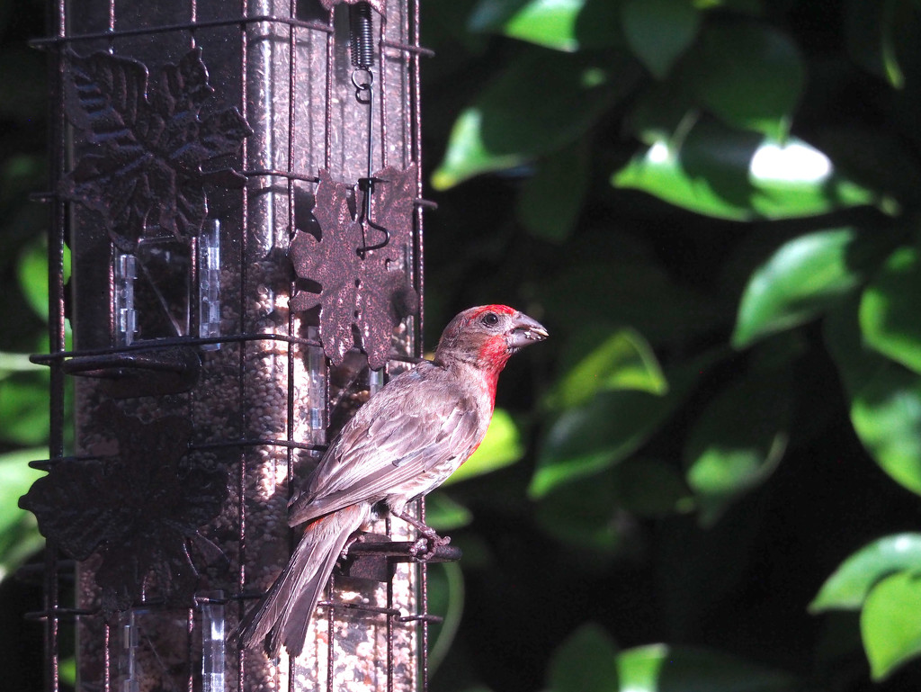 House Finch by redy4et