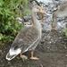 Hello Grey Goose
