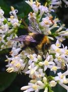 13th Jul 2020 - Bee on privet