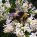Bee on privet by pattyblue