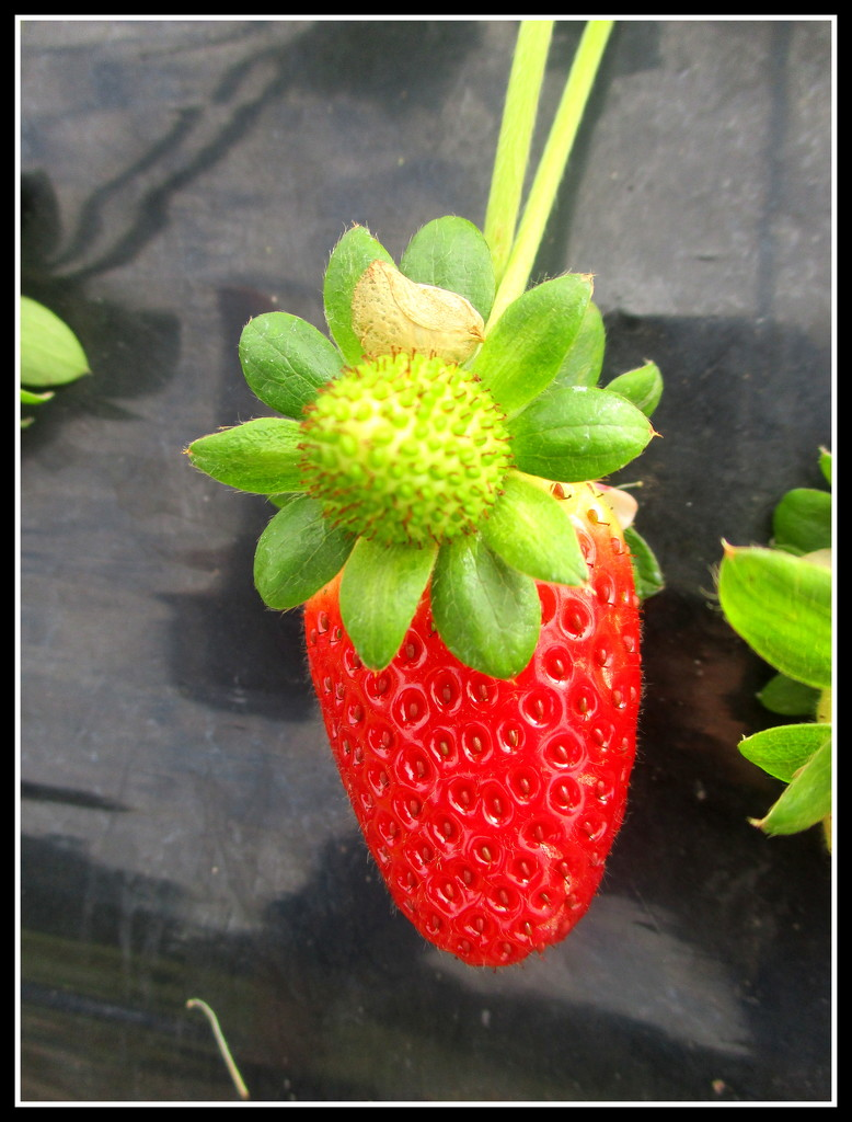 Strawberry & flower by 777margo