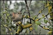 13th Jul 2020 - RK3_1038 One of my favourite little birds