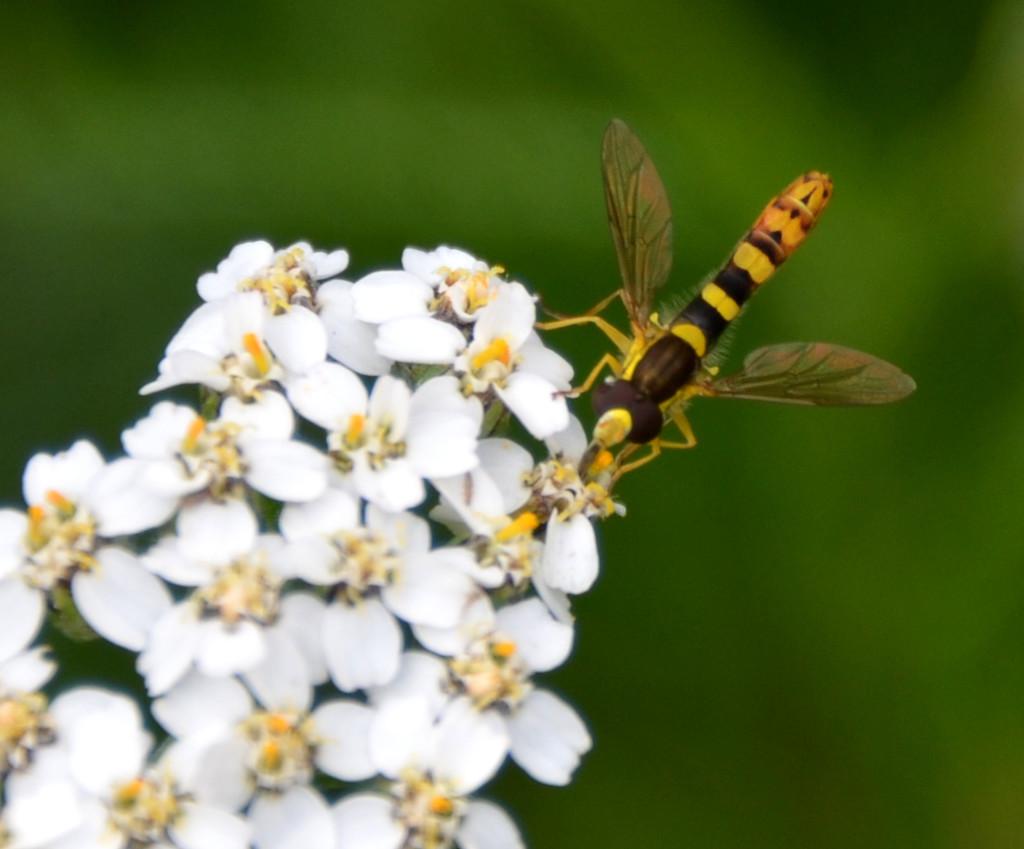 Long Hoverfly by arkensiel