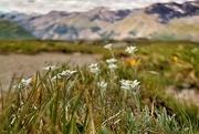 13th Jul 2020 - 2020-07-13 alpine edelweiss'