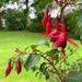 Hardy fuchsia  by happypat