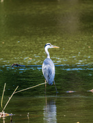 13th Jul 2020 - Heron