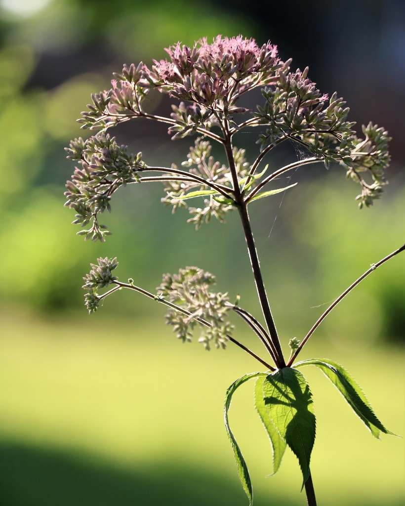 July 12: Joe Pye Weed by daisymiller