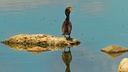 13th Jul 2020 - double-crested cormorant