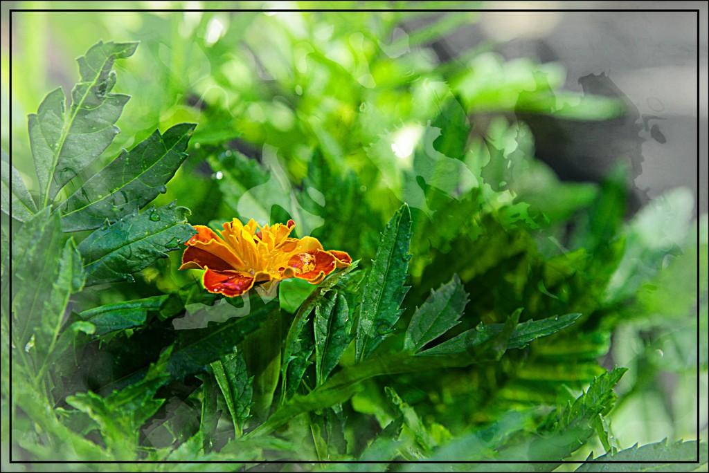 Emerging Marigold by olivetreeann