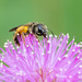 Busy Bee on Powderpuff Plant.
