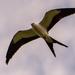 Swallowtail Kite!