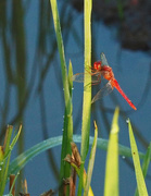 26th Sep 2019 - Red Dragon Fly