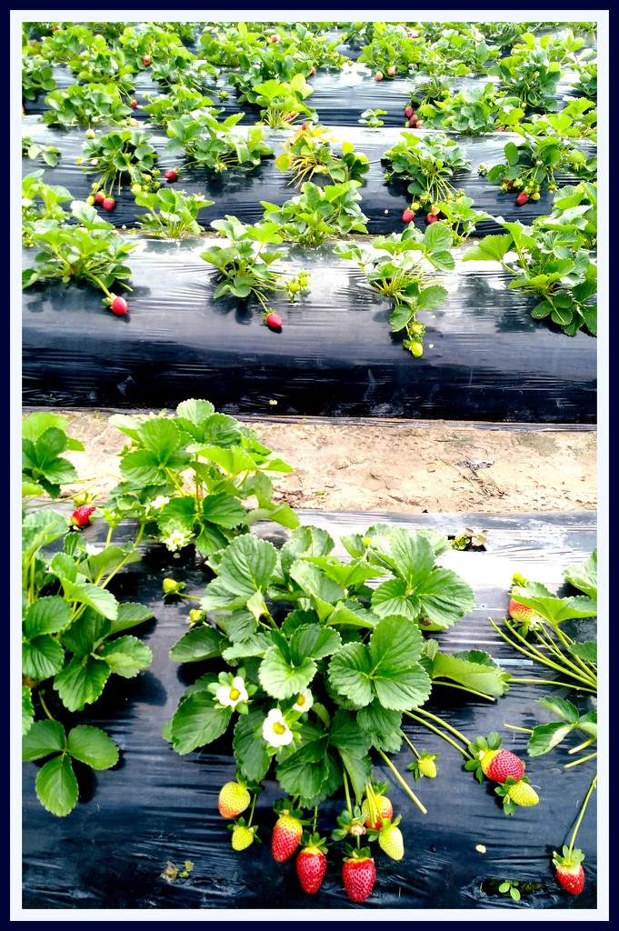 Strawberries as far as you can see!! by 777margo