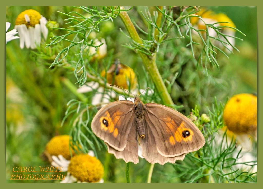 Meadow Brown Butterfly by carolmw