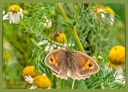 14th Jul 2020 - Meadow Brown Butterfly