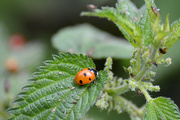 14th Jul 2020 - Ladybird