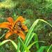 Tiger Swallowtail (?)