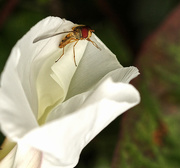 14th Jul 2020 - Hoverfly