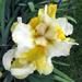 More iris…