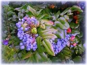 15th Jul 2020 - Mahonia berries