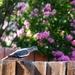 A white-winged dove