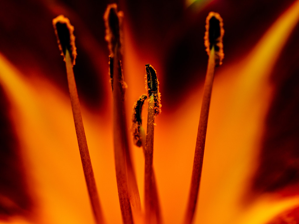 Day Lilly  by tosee