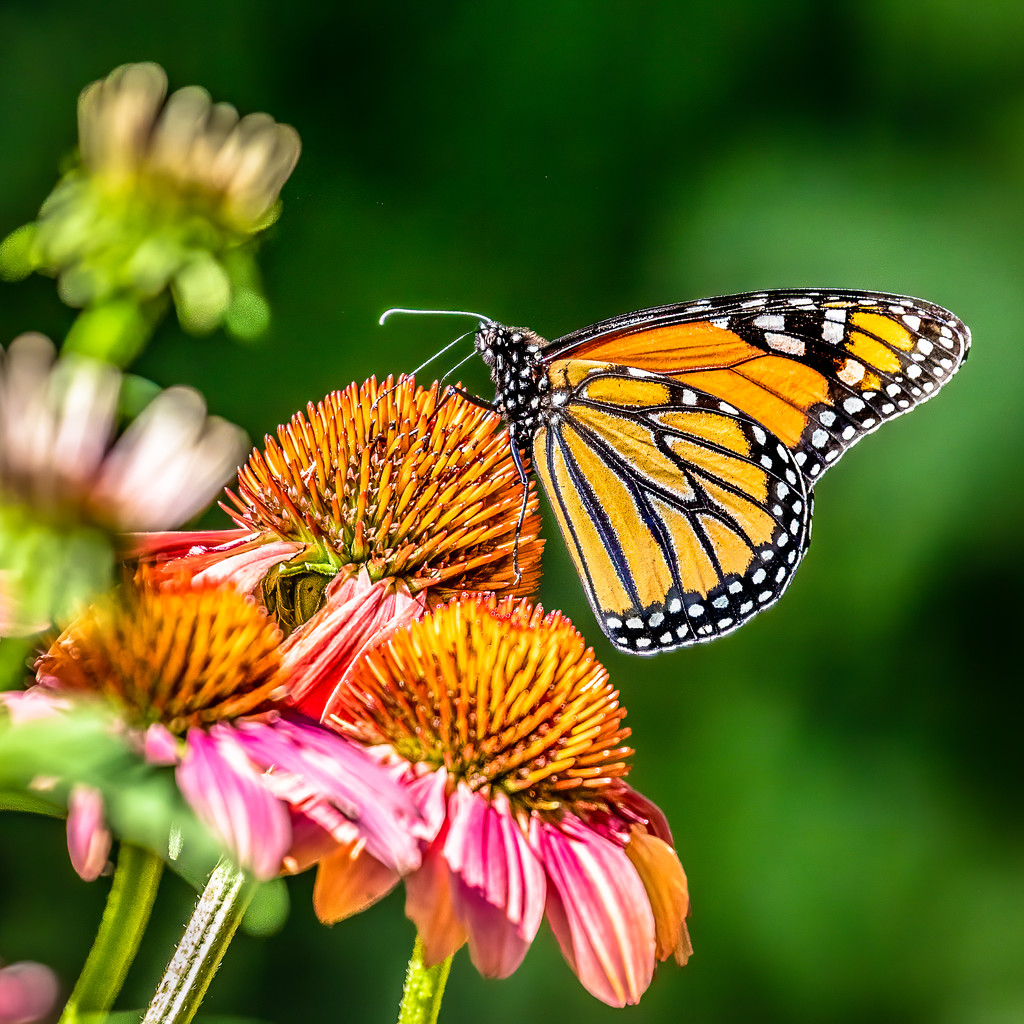 The Monarch Likes the Cone Flowers by jyokota