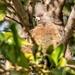 Mousebird  by ludwigsdiana