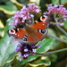 At last, a co-operative butterfly! :-)