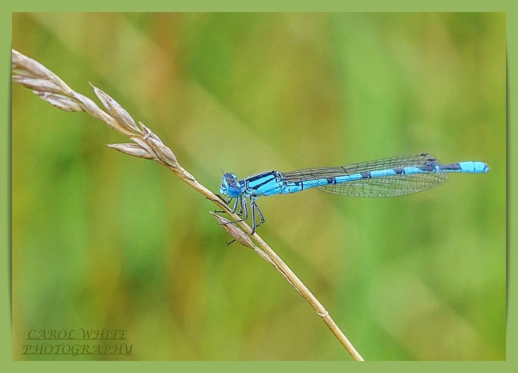 Common Blue Damselfly by carolmw