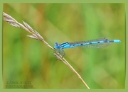 15th Jul 2020 - Common Blue Damselfly