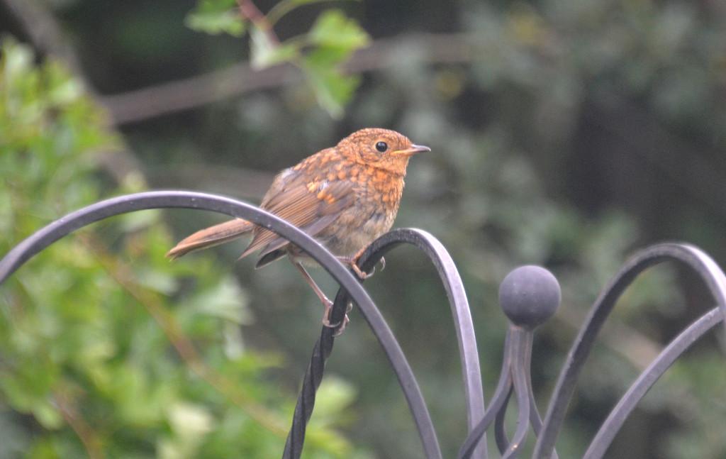 Juvenile Robin by arkensiel