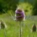 Dipsacus fullonum - Grote kaardenbol
