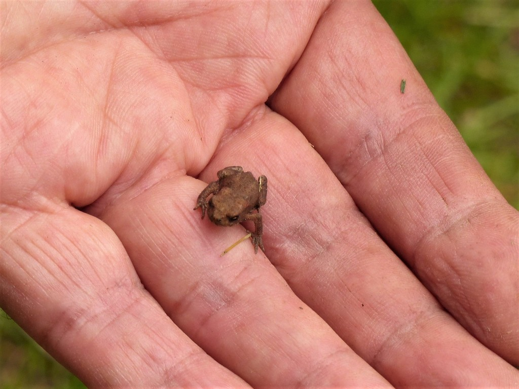 A Very Tiny Toad  by susiemc