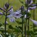 Hosta flower by 365projectmalh3