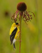 15th Jul 2020 - american goldfinch perching on a pale purple coneflower