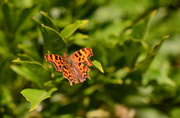 15th Jul 2020 - Comma