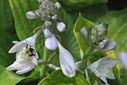 15th Jul 2020 - Hosta bee
