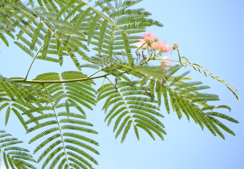 Mimosa tree by francoise