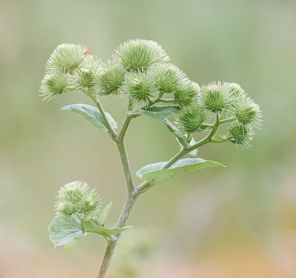 Green Burrs by gardencat