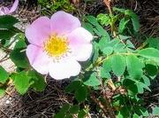 16th Jul 2020 - Wild Rose