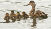 16th Jul 2020 - ducklings