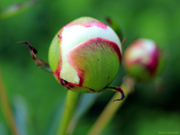 10th May 2020 - Peonies are ready to pop