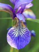 "11th May 2020 - ""Iris sibirica"""