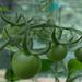 Tomato Update II