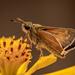 Golden Moth by marylandgirl58