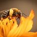 Golden Bee by marylandgirl58