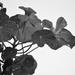 Nasturtium In Black & White