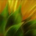 Dreamy Sunflower by olivetreeann