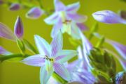 16th Jul 2020 - Hosta Blossoms